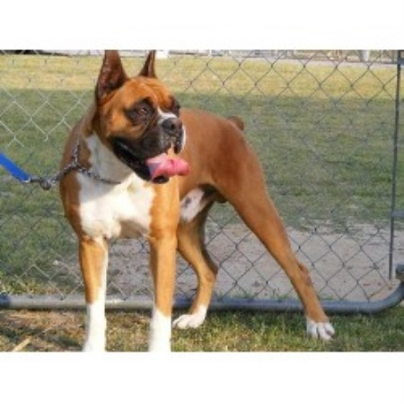 Sd Boxers Boxer Breeder In Hartsville South Carolina