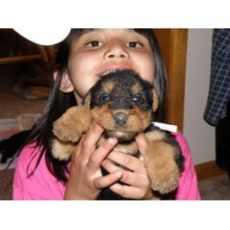 Airedale Dogs For Sale In Michigan
