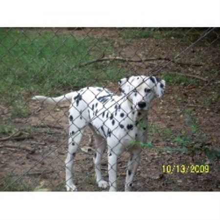 Katherine Dolberry Dalmatian Breeder In Scottsboro Alabama