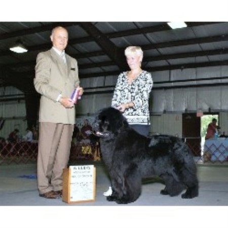 Newfoundland Dog breeder Sunbury 14596