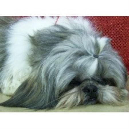 Teacup+shih+tzu+puppies+for+sale+in+iowa