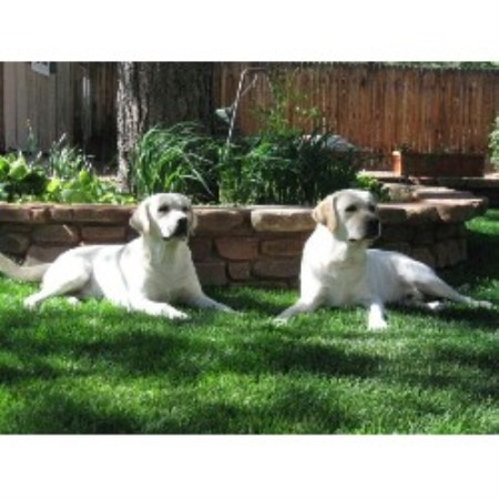 Labrador Retriever breeder Tucson 14656