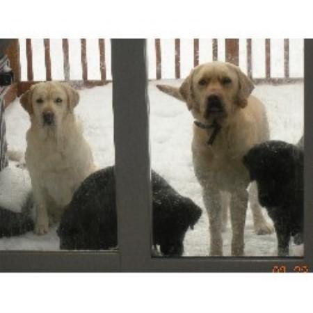 Hidden Pond Labradors - Black, Yellow, & Chocolate Lab ...