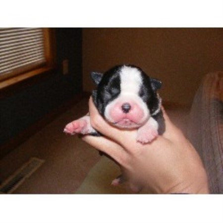 Bullseye Kennel Bull Terrier Breeder In Grafton West Virginia