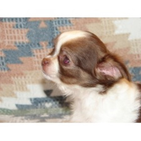Chihuahua breeders in Texas | FreeDogListings Page: 2