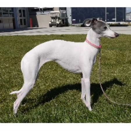 Dolce Italian Greyhounds Italian Greyhound Breeder In Salt Lake City Utah