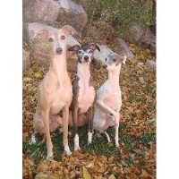 Dolce Italian Greyhounds