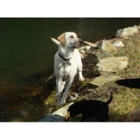 Evergreen Labrador Retrievers