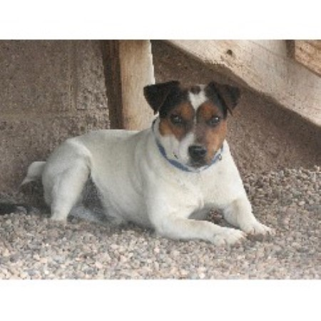 Paws In The Valley, Parson Russell Terrier Breeder in Tome ...