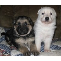 Sprague's German Shepherds