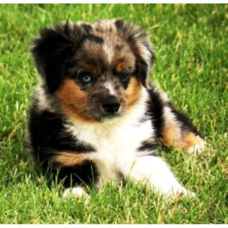 Tx miniature australian shepherd breeder in la vernia texas