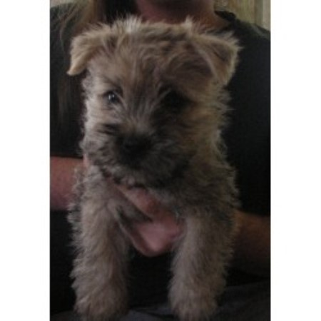Cedar Creeks Cairn Terriers, Cairn Terrier Breeder in Crab Orchard