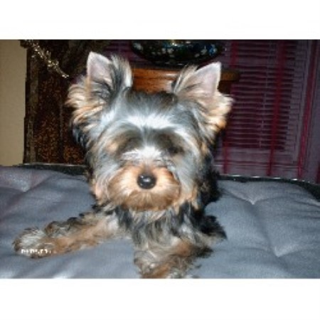 Moonlight Yorkies, Yorkshire Terrier Breeder in London, Kentucky
