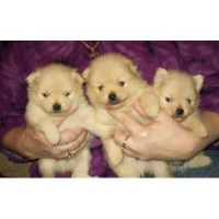 pomeranian puppies for sale in pittsburgh pa pomeranian breeders in pennsylvania 5820