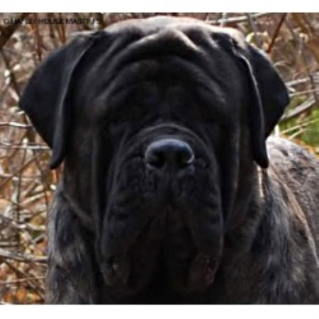 Hardy House Mastiffs Mastiff Breeder In Geneva Ohio