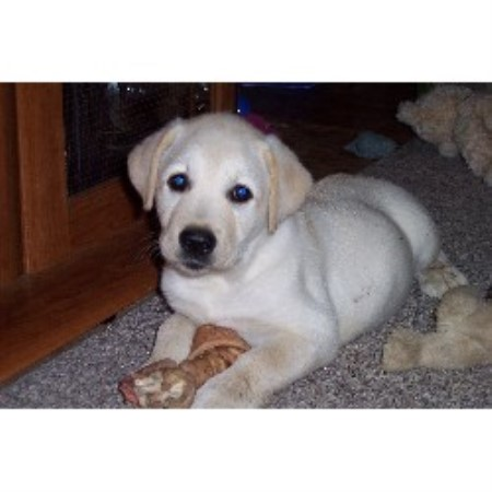 labrador breeders in michigan