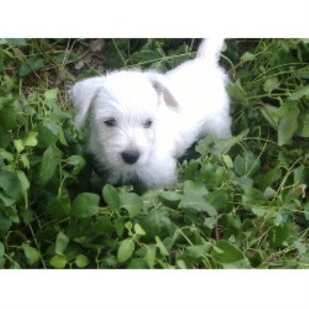 Asc Kennels West Highland White Terrier Breeder In Abbott Texas