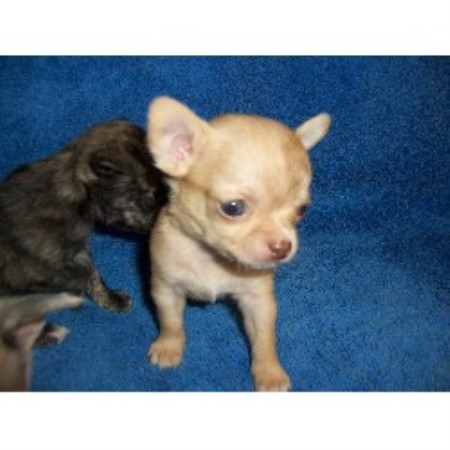 Chihuahua breeder Roseville 14980