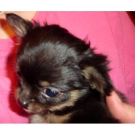 Chihuahua breeders in Michigan | FreeDogListings