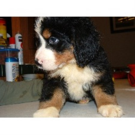 Bernese Mountain Dog Rescue Ontario