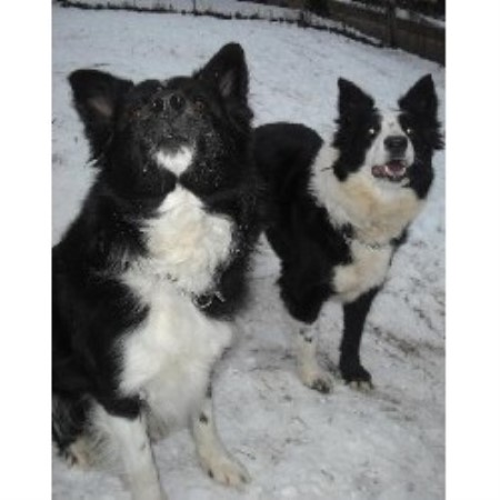 Border Collie breeder Wheelersburg 15033