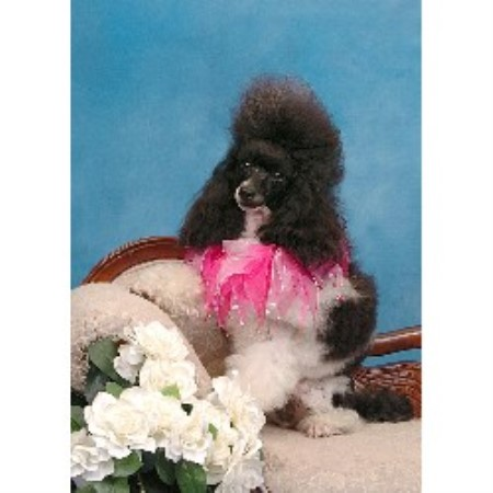 Poodle Miniature breeder in Ontario