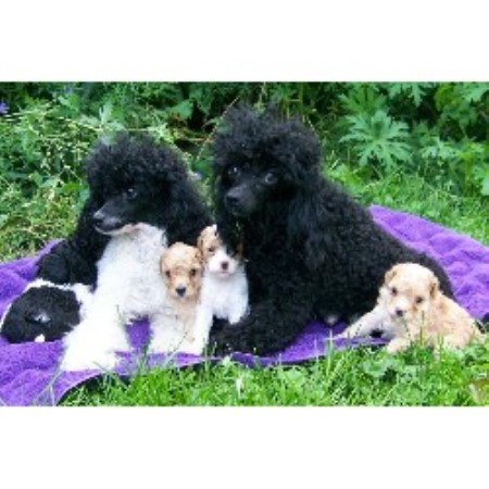 Poodle Miniature breedering kennel in Oshawa