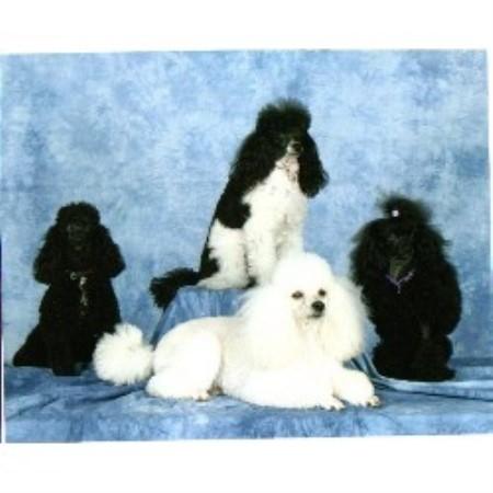 Paisley Poodle Miniature Breeder In Oshawa Ontario