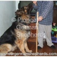 Giant German Shepherds