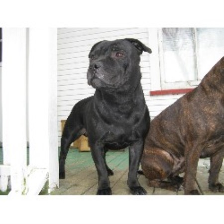 Staffordshire Bull Terrier Rescue Oregon Gladius is a small kennel with