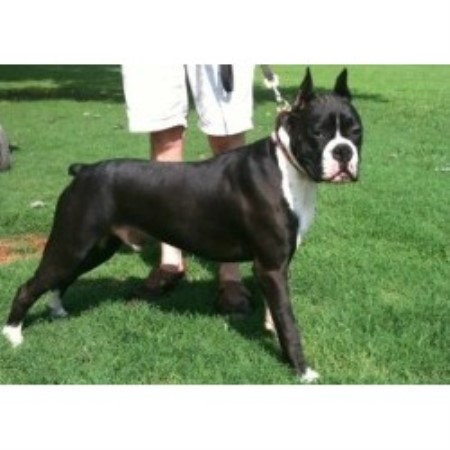 Cedar Creek Boxers, Boxer Breeder in Blythewood, South Carolina