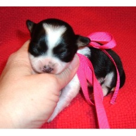 Chihuahua Depot Chihuahua Breeder In Marietta Georgia