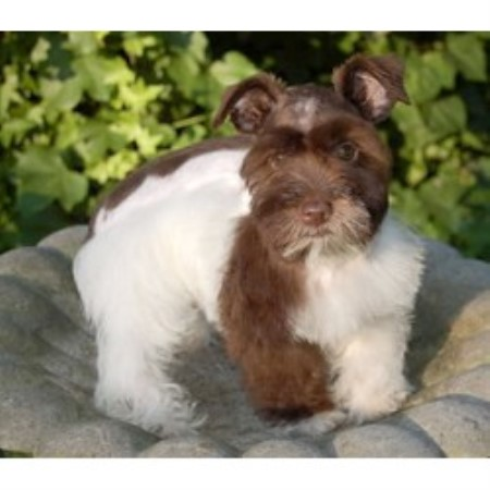 Mm River City Schnauzers Miniature Schnauzer Breeder In San
