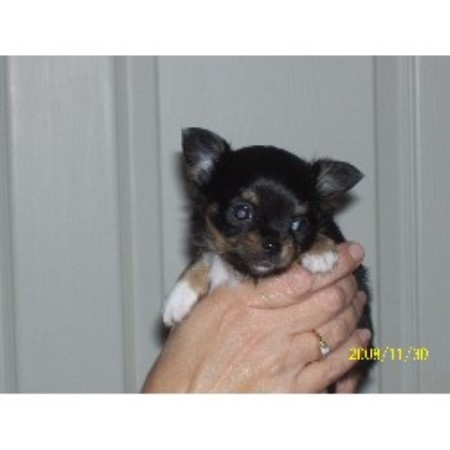 Chihuahua breedering kennel in Brockport