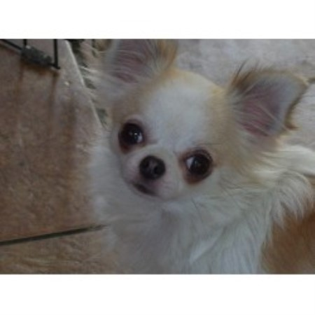 Bj S Chihuahuas Chihuahua Breeder In Cuba New York