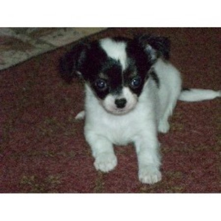 Chihuahua breeder in Brockport, New York