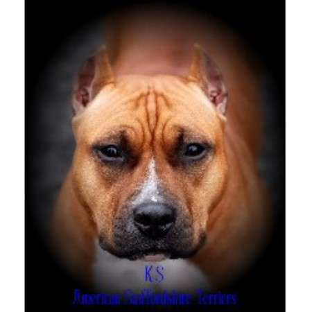 Ks American Staffordshire Terriers American Staffordshire Terrier Breeder In Portland Oregon