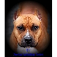 Ks American Staffordshire Terriers