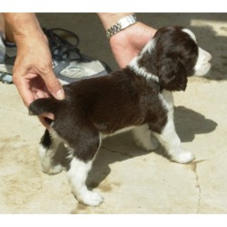 M C B Springers Of Texas English Springer Spaniel Breeder In Manchaca Texas
