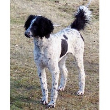 Sheepadoodle Luv Poodle Standard Breeder In Medical Lake