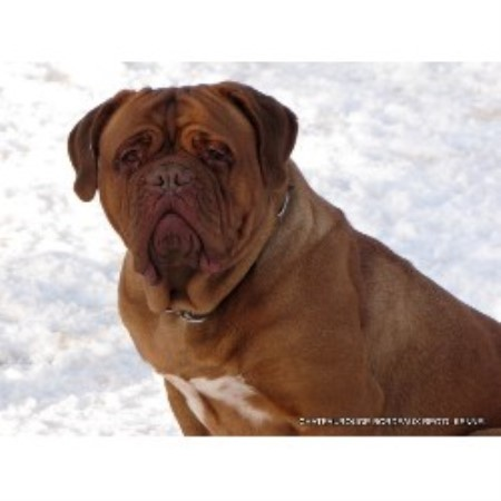Dog De Bordeaux Rescue Ontario