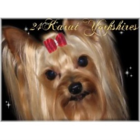Yorkshire Terrier breeder Mesa 15420