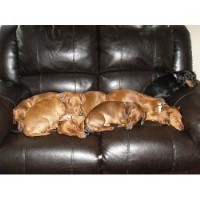 My Little Doxies
