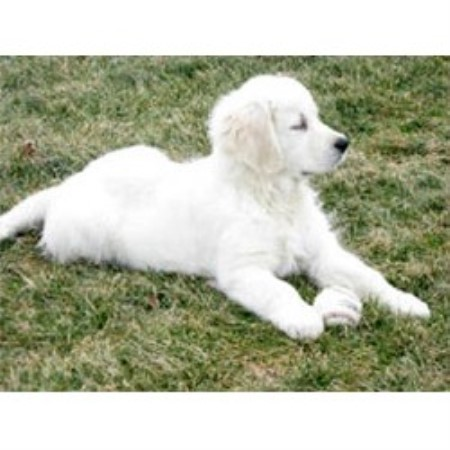 golden retriever rescue of nw ohio treasure goldens white Cheap Bedroom Sets Affordable Bedroom Furniture Set