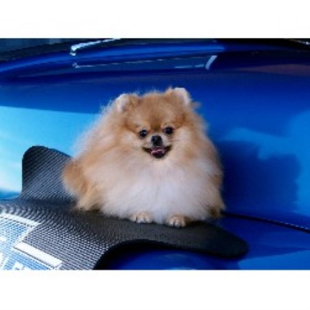 pomeranian breeders va pin pomeranian rescue georgia on pinterest 721