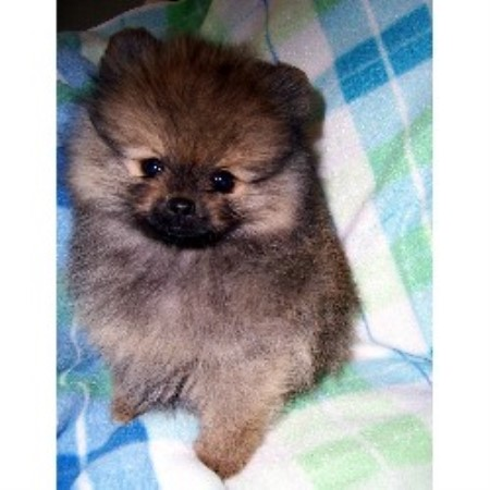 pomeranian breeders va m t kennel pomeranian breeder in winchester virginia 3699