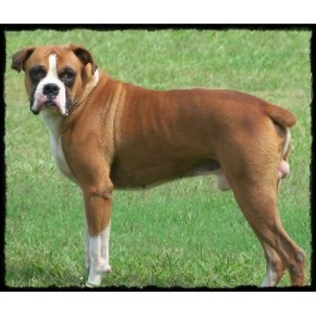 Boxer breeder in Caulfield, Missouri