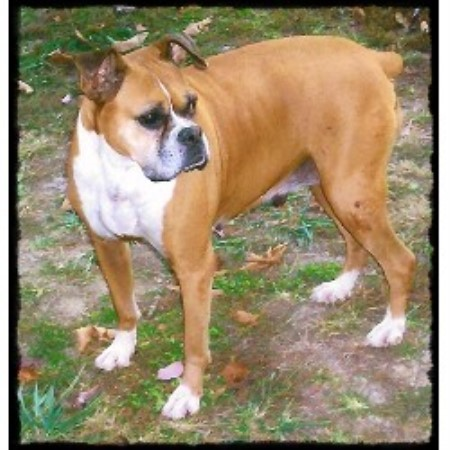 Boxer breeder in Missouri