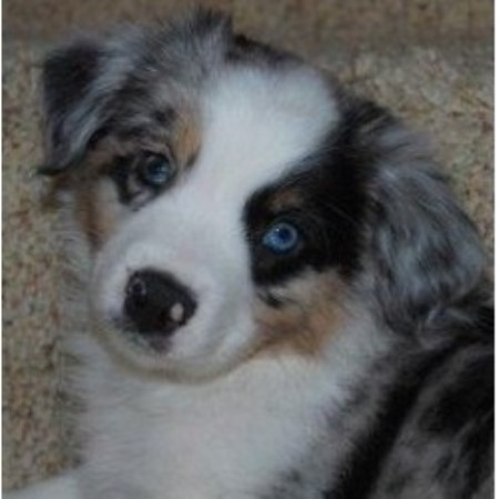 Little Ranch Dogs Miniature Australian Shepherd Breeder In Brenham Texas