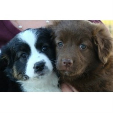 Australian shepherds central texas 171 australian shepherd tips